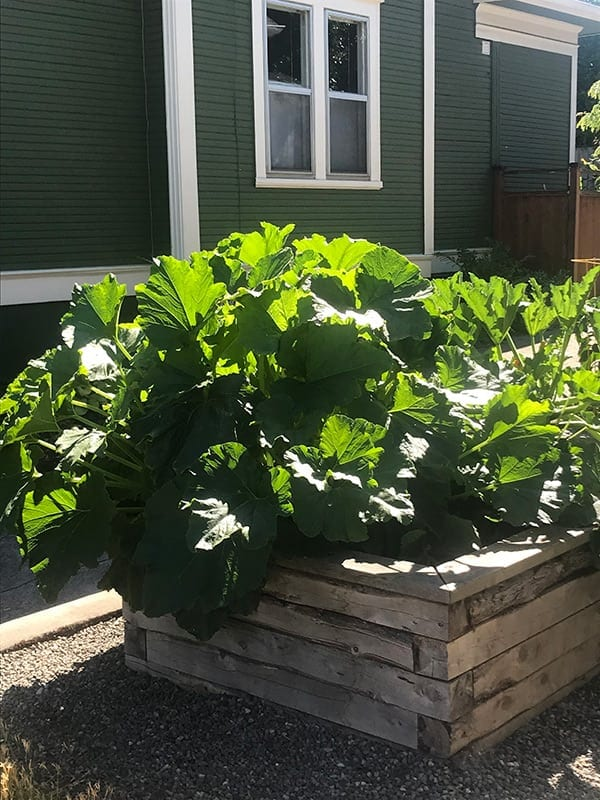 Monster Zucchini Plant in my yard