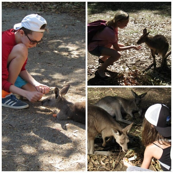 Feeding Kangaroos at Hartley's Crocodile Adventures